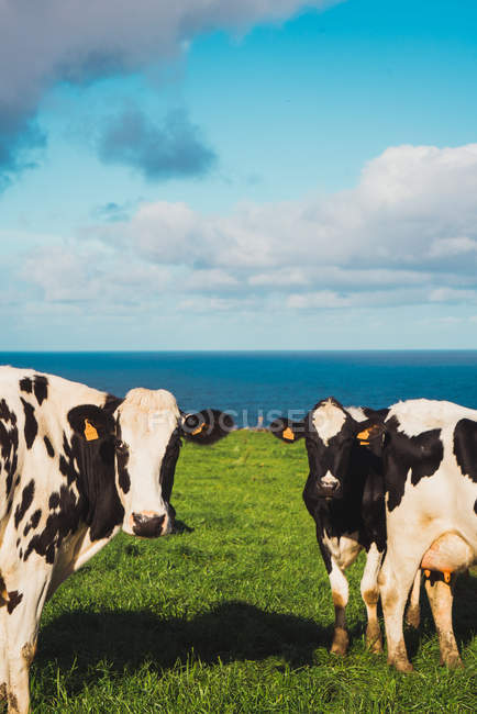 Стада корів стояв на зеленому лугу, біля узбережжя. — стокове фото