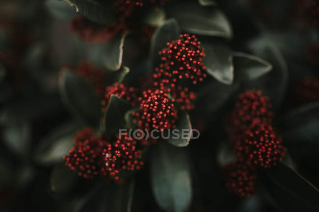 Plant with green leaves and red dots bloom. — Stock Photo