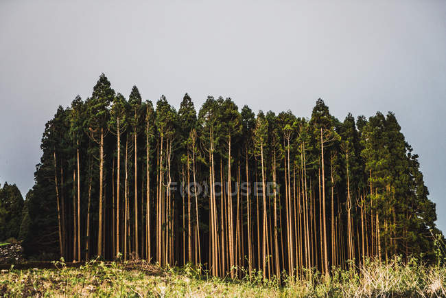 Landscape of woods edge with tall green trees under gloomy sky. — Stock Photo