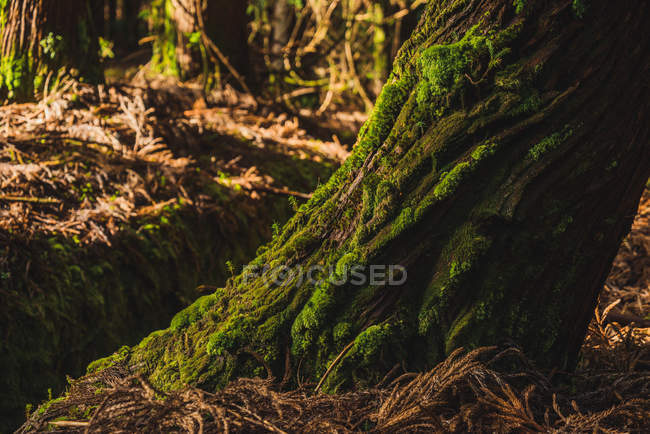 Big tree trunk with green moss in sunny forest. — Stock Photo