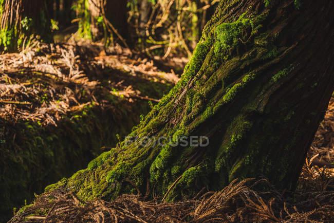 Großen Baumstamm mit grünem Moos im sonnigen Wald. — Stockfoto