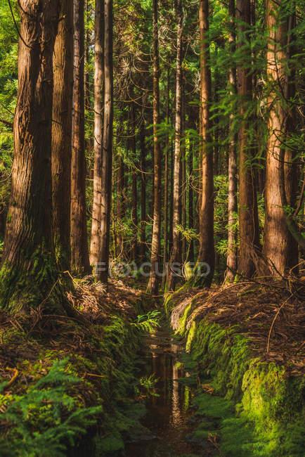 Идиллический вид на вечно зеленый лес в солнечный день — стоковое фото