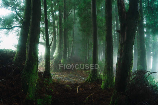 Misty green forest with tall trees — Stock Photo