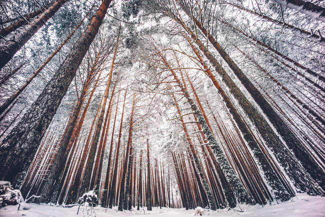 Bottom view of snowy tree trunks at winter forest — Stock Photo