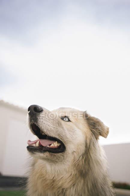 Милая собака с голубыми глазами над небом — стоковое фото