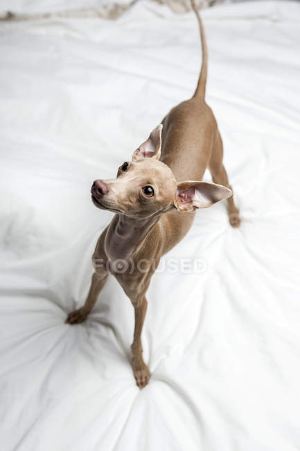 Portrait of Italian Greyhound dog standing on bed and looking away — Stock Photo