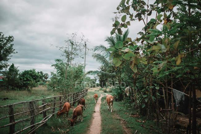 Стадо коричневых коров, идущих по улице красивой деревни . — стоковое фото