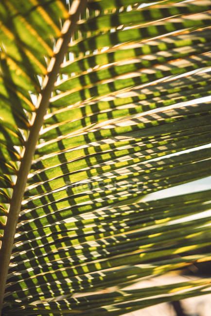Full-Frame-Schuss von hinterleuchteten grünen Palmwedel — Stockfoto