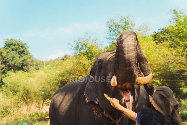 Cultivo persona alimentación elefante con plátano en la naturaleza - foto de stock