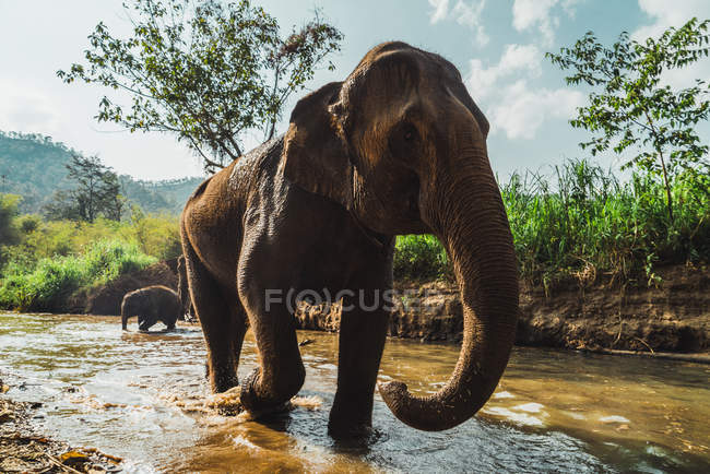 Elephant standing walking out of small river in sunny day. — Stock Photo
