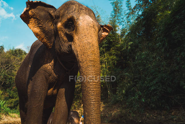 Wlephant standing in nature on sunny day — Stock Photo