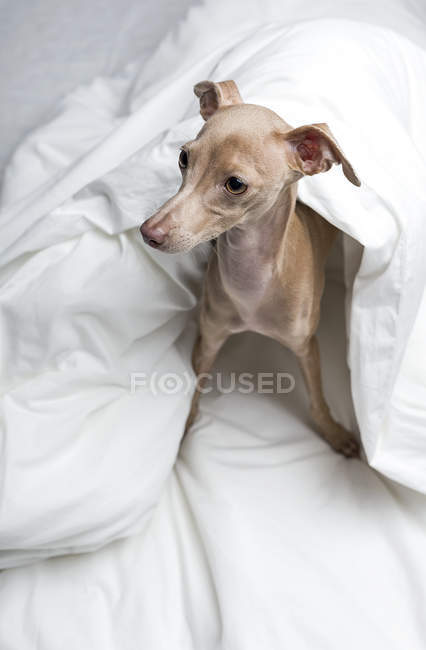Portrait of Italian Greyhound dog wrapped in duvet — Stock Photo