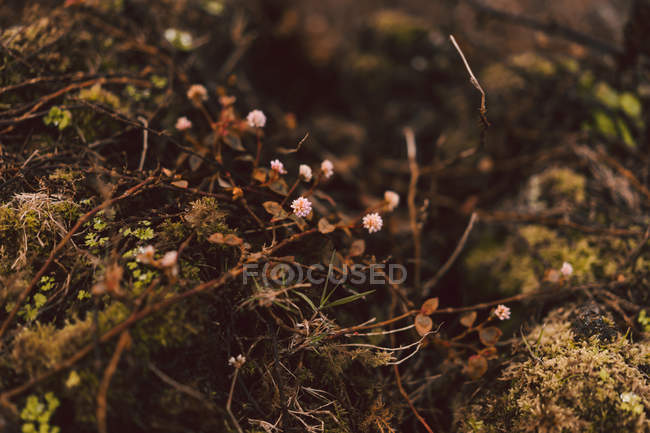 Minuscoli fiori rosa che crescono nel fogliame nella foresta . — Foto stock