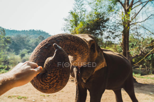 Elefante extendiendo tronco para tocar la mano del fotógrafo - foto de stock