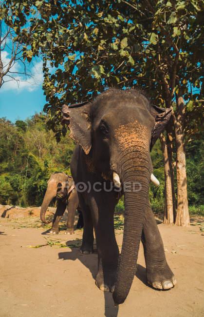 Симпатичные слонов, проходя мимо дерева в джунглях зоопарке — стоковое фото