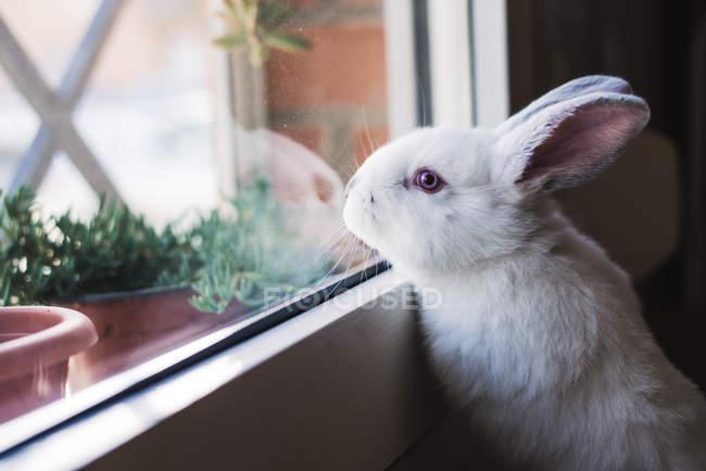 Милый маленький белый кролик, глядя на окна — стоковое фото