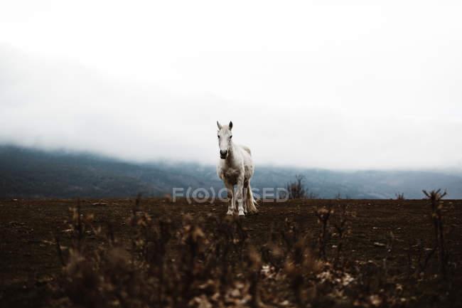 Cavalo branco em campo outono em dia nebuloso — Fotografia de Stock