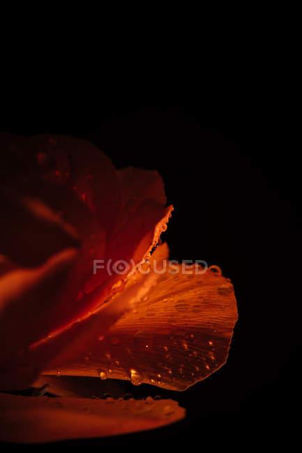 Помаранчевий пелюстки з води падає на чорному тлі — стокове фото