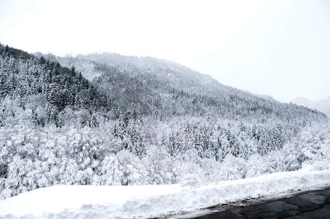Sapins versants forestiers couverts de neige en journée d'hiver . — Photo de stock