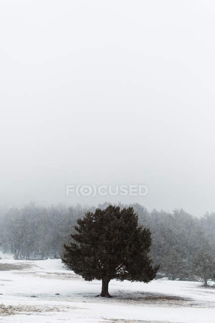 Vue sur grand arbre vert dans champ couvert de neige . — Photo de stock
