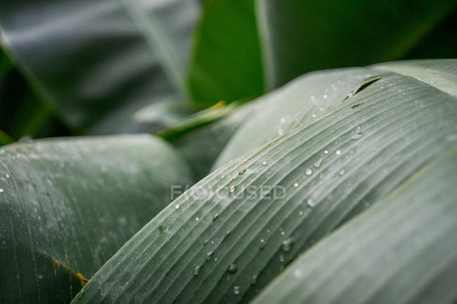 Close up view of big green leaves with drops of water. — Stock Photo