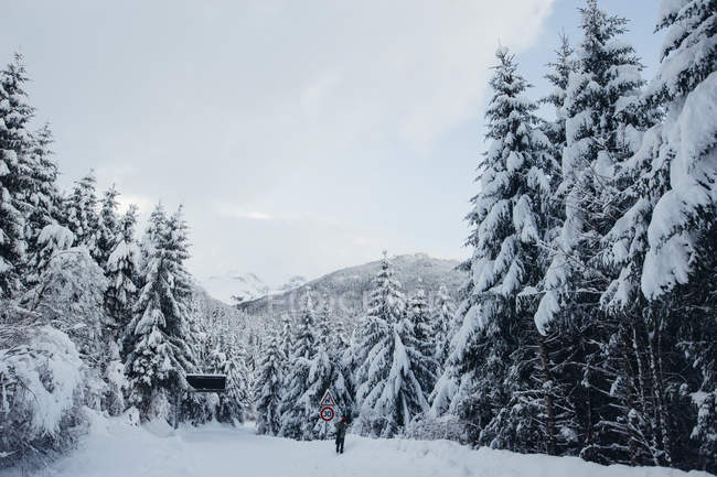 Fir trees forest covered with snow in winter day. — Stock Photo