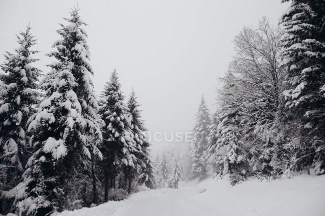 View to fir trees forest covered with snow in winter day. — Stock Photo