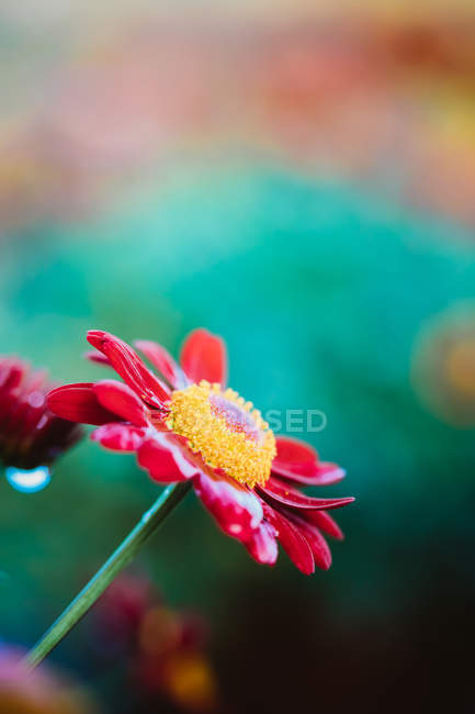 Close up view of red blooming daisy at spring — Stock Photo