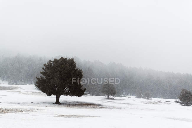 Paisaje tranquilo de árboles verdes en invierno día brumoso - foto de stock