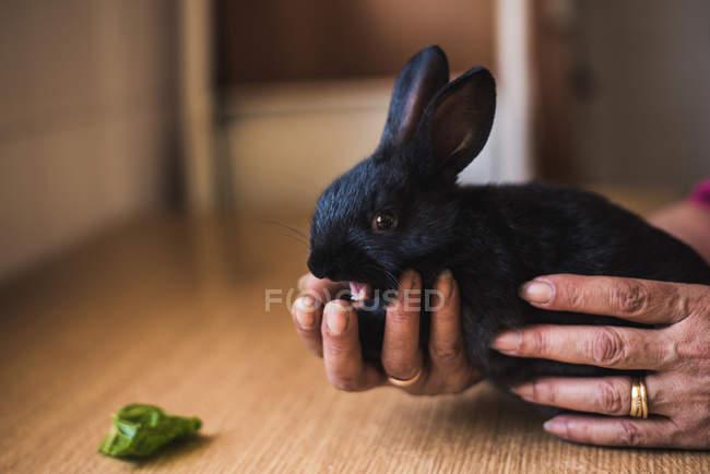 Crop female hands holding adorable black bunny at table. — стоковое фото