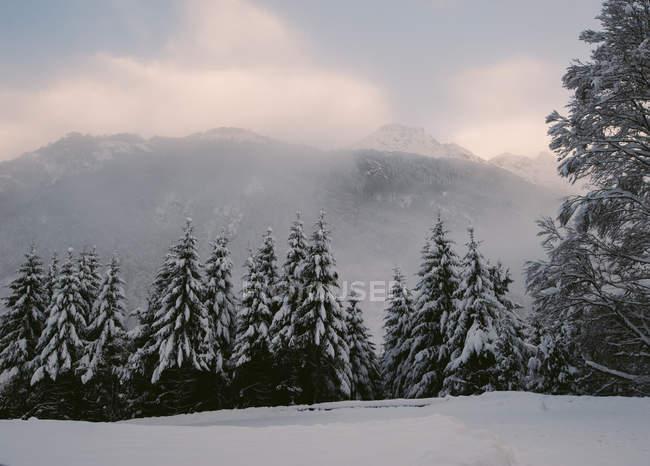 Vue sur sapins forêt couverte de neige sur les montagnes brumeuses — Photo de stock