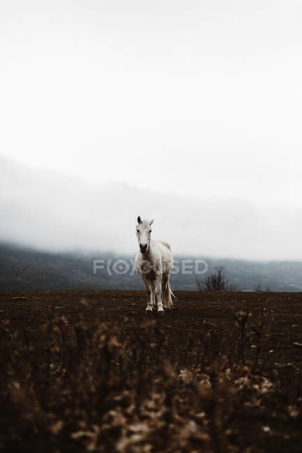 Beautiful big white horse standing on field in foggy day. — Stock Photo