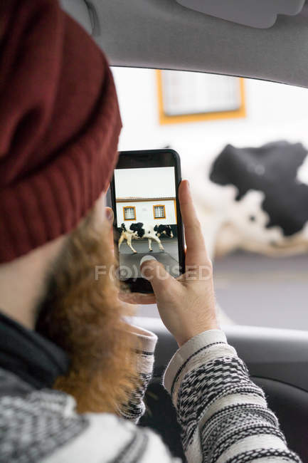 Hombre barbudo sentado en el coche y tomando fotos de vaca grande con teléfono inteligente . - foto de stock