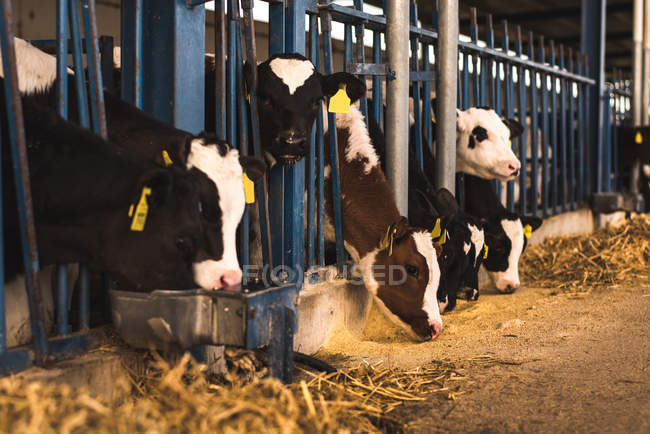 Kälber im Gehege auf Bauernhof — Stockfoto