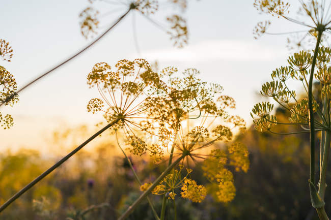 Цветущий укроп на закате — стоковое фото