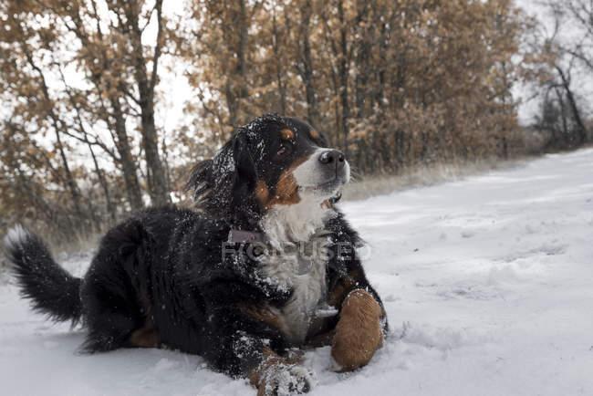 Bernese perro de montaña tirado en la nieve - foto de stock