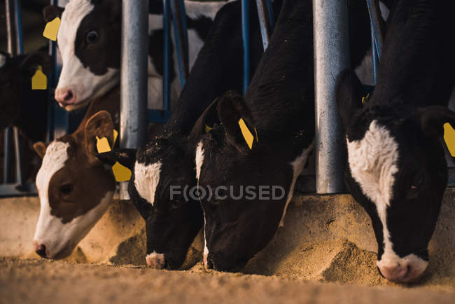 Kälber stehen im Gehege auf Bauernhof — Stockfoto