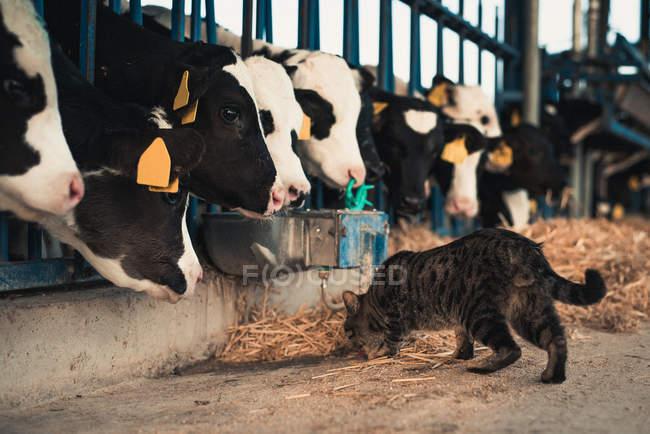 Katze mit Kälbern auf Bauernhof — Stockfoto