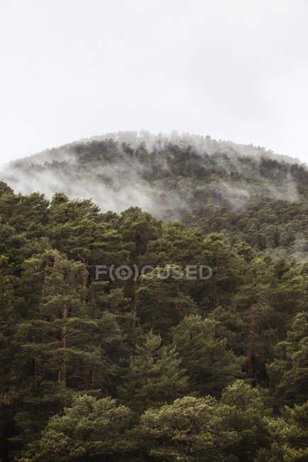 Туманні туману в сосновому лісі — стокове фото