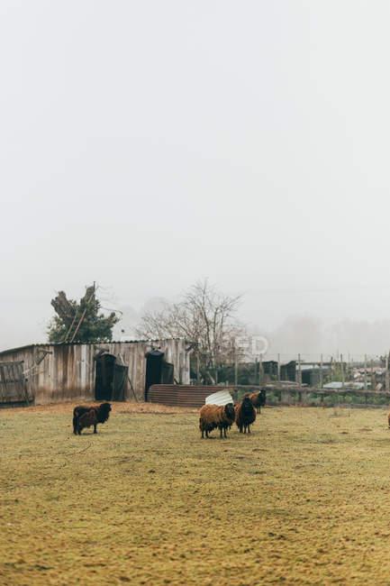 Pascolo di pecore brune sul prato — Foto stock
