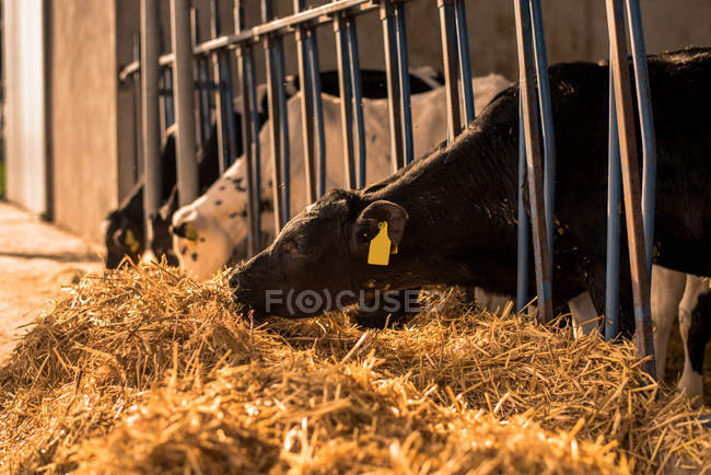 Calves standing in corral on farm — Stock Photo