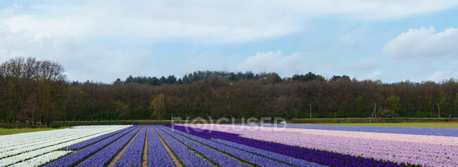 Huge field covered with nice flowers of various shades of violet color. — Stockfoto