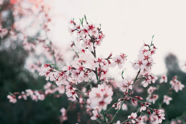 Pink blooming almond tree — Stock Photo