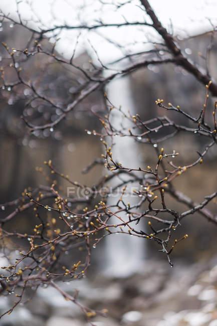 Frühjahr Knospen und Wasser fällt auf Baum — Stockfoto