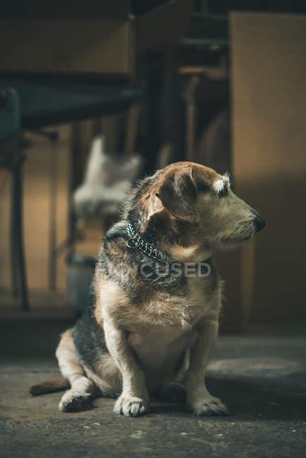 Old dog sitting on floor — Stock Photo