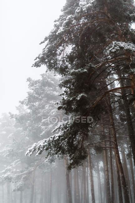 Ели в заснеженных белый лес — стоковое фото