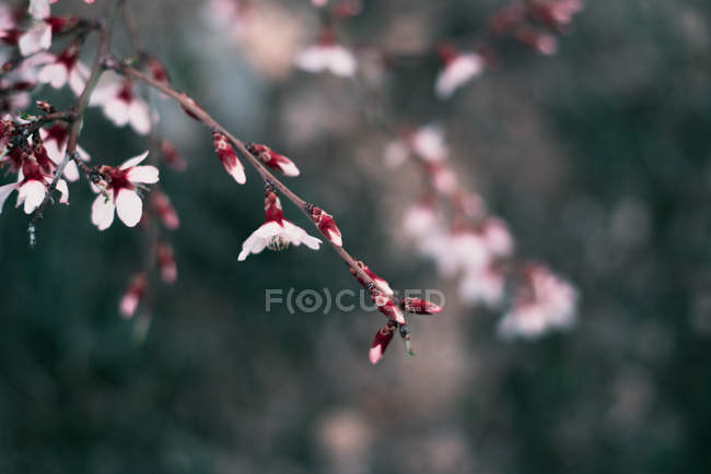 Pink blooming almond tree twig — Stock Photo