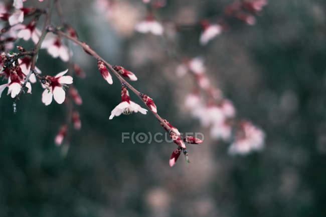 Рожевий twig квітучі мигдальне дерево — стокове фото