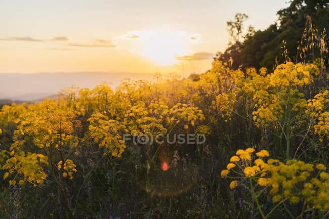Blooming yellow wildflowers at sunset — Stock Photo