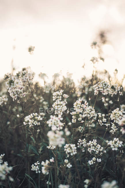 White blooming flowers growing on meadow — Stock Photo